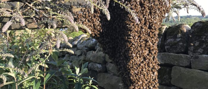 Honeybee swarm on pergola